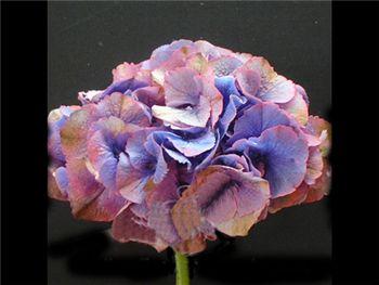Antique Purple (NZ) Hydrangeaceae