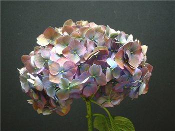 Antique Purple Hydrangeaceae