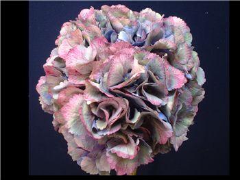 Antique Storm Hydrangeaceae