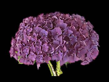 Bottstein Purple Hydrangeaceae