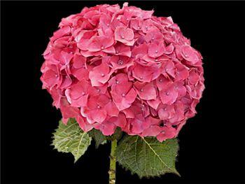 Bottstein Rose Hydrangeaceae