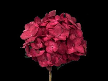 Burgundy Hydrangeaceae
