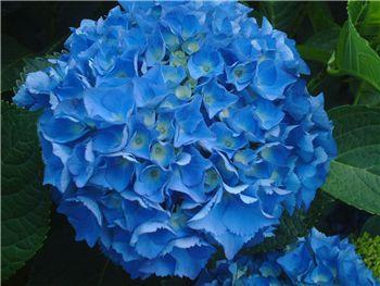 Dark Blue Hydrangeaceae