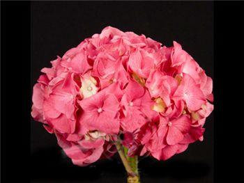 Dark Pink Hydrangeaceae