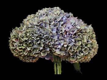 Hamburg Blue - Green Hydrangeaceae
