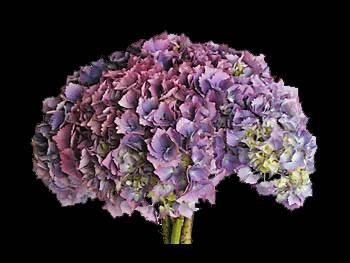 Hamburg Blue - Pink Hydrangeaceae