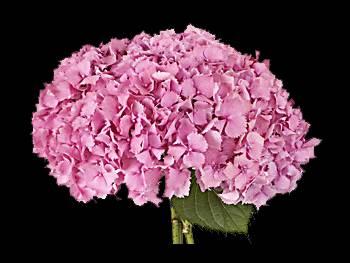 Hamburg Pink Hydrangeaceae