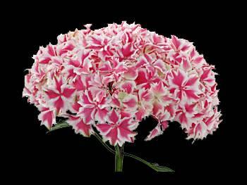 Harlequin Hydrangeaceae