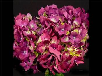 Hot Pink Hydrangeaceae