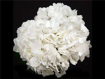 Jumbo White Hydrangeaceae