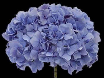 Kuhnert Blue Hydrangeaceae
