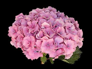 Kuhnert Lt. Pink Hydrangeaceae