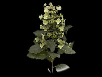 Lace Hydrangeaceae