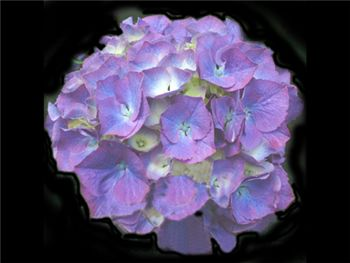 Lavender (NZ) Hydrangeaceae
