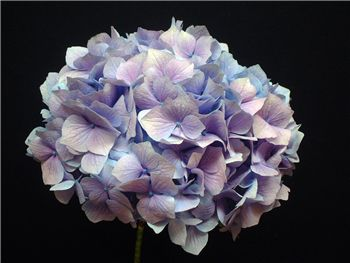 Lavender Hydrangeaceae