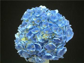 Light Blue Hydrangeaceae