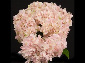 Light Pink Hydrangeaceae