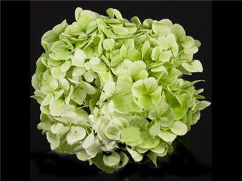 Lime Green Hydrangeaceae