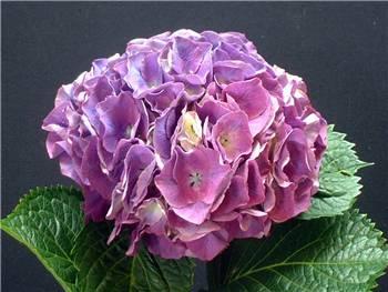 Mauve Hydrangeaceae