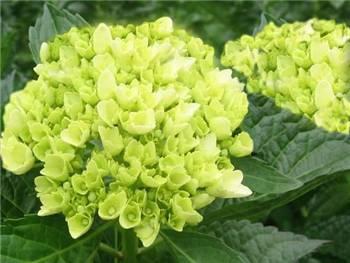 Mini Green Hydrangeaceae