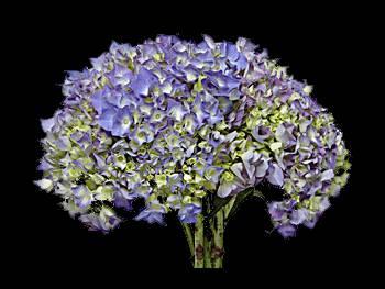 Neon Blue - Green Hydrangeaceae