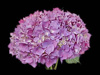 Neon Lavender - Green Hydrangeaceae