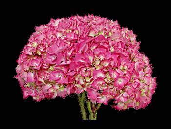 Neon Pink - Green Hydrangeaceae