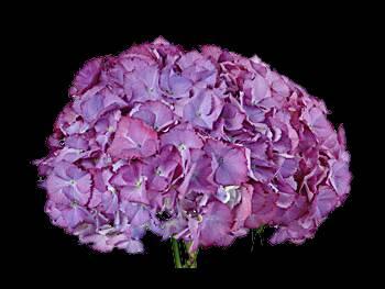 Neon Purple - Green Hydrangeaceae