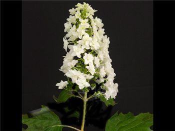 Oakleaf Snowflake Hydrangeaceae