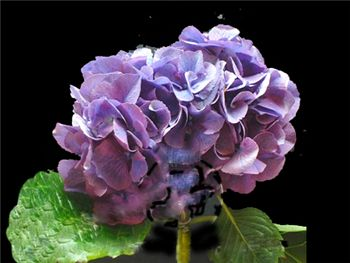 Purple (NZ) Hydrangeaceae