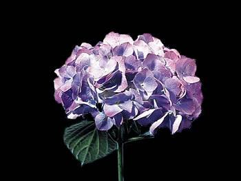 Purple Hydrangeaceae