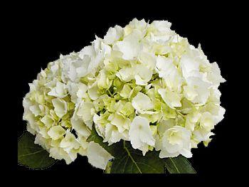 Regula Hydrangeaceae