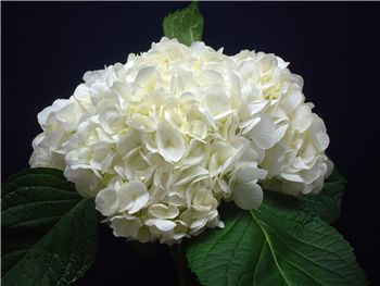 White Hydrangeaceae