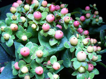 Peach Hypericum
