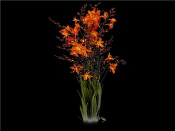 Crocosmia Flower Iridaceae