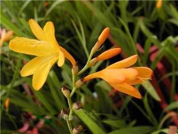 George Davidson Iridaceae