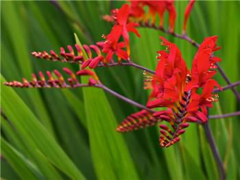 Lucifer Iridaceae