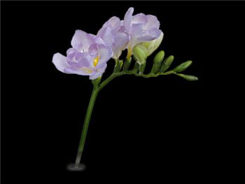 Algarve Iridaceae