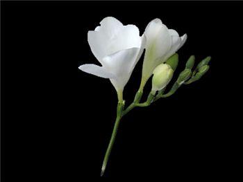 Anuk Iridaceae