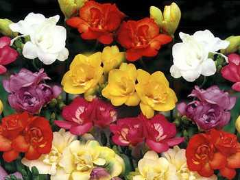 Assorted Iridaceae