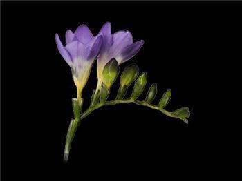 Blue Bayou Iridaceae