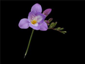 Blue Nile Iridaceae