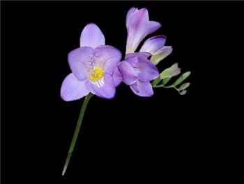 Blue Sky Iridaceae