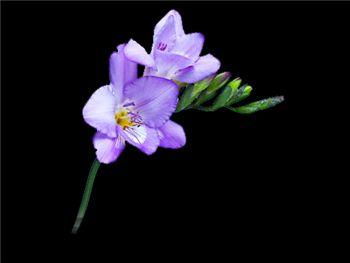 Cascade Iridaceae
