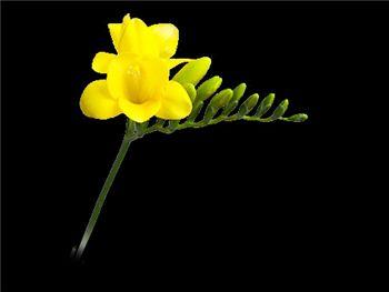 Flandria Iridaceae