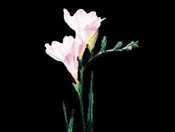 Lavender Iridaceae