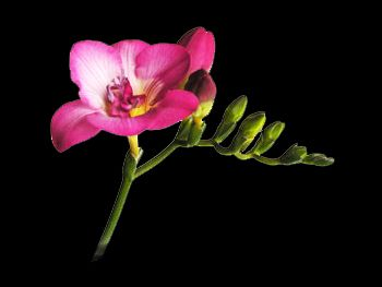 Purple Rain Iridaceae
