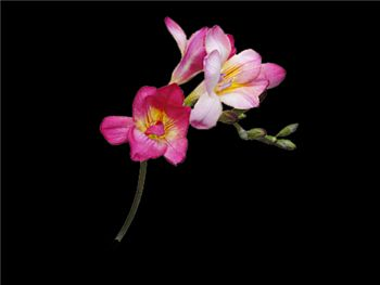 Troubadour Iridaceae