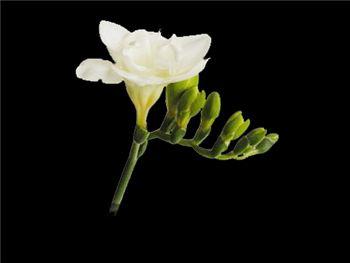 Versailles Iridaceae