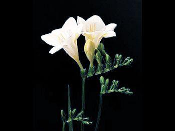 White Iridaceae